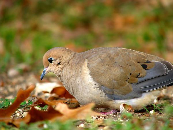 A mourning dove (a.k.a. rain dove; Zenaida macroura) grazing (20081127_15137)
