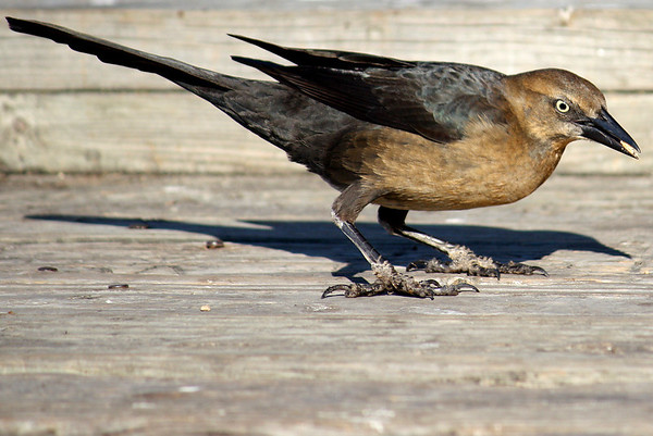 A female great-tailed grackle (Quiscalus mexicanus) standing on a pier (2008_12_07_001394)