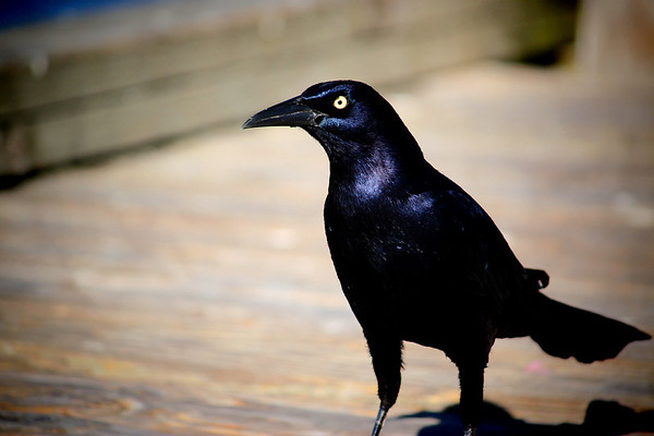 A male great-tailed grackle (Quiscalus mexicanus) standing on the pier and staring at me (2008_12_07_001404)
