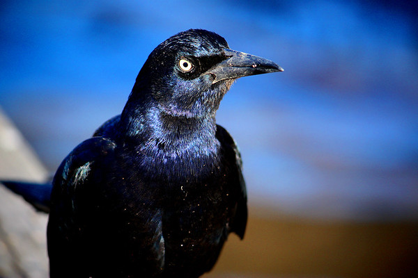 Close-up of a male great-tailed grackle (Quiscalus mexicanus) standing on the pier (2008_12_07_001566)