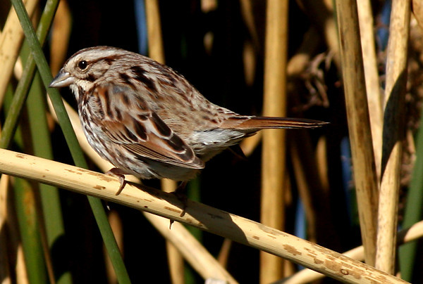 A song sparrow (Melospiza melodia) perched in reeds along the shore of White Rock Lake (2009_02_03_006432)