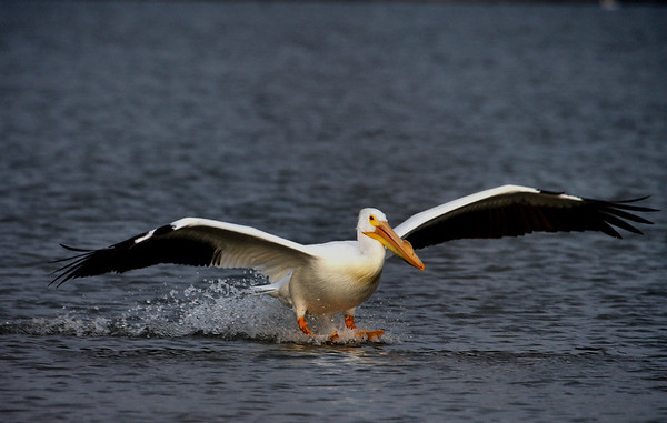 An American white pelican (Pelecanus erythrorhynchos) skiing into a landing on water (2009_03_07_011916_n)