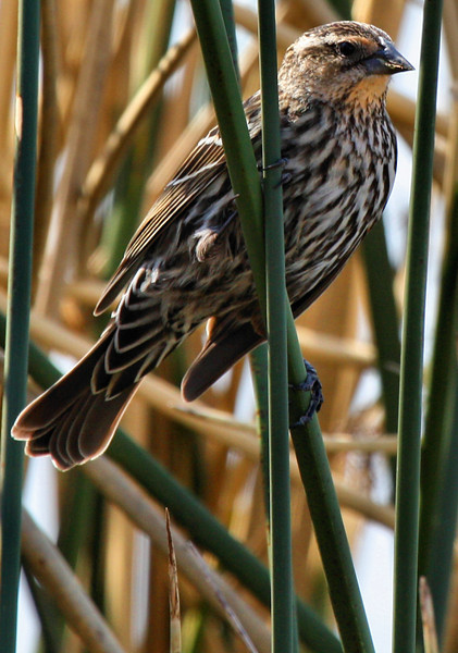 A female red-winged blackbird (Agelaius phoeniceus) perched on a reed (2009_03_08_012714)