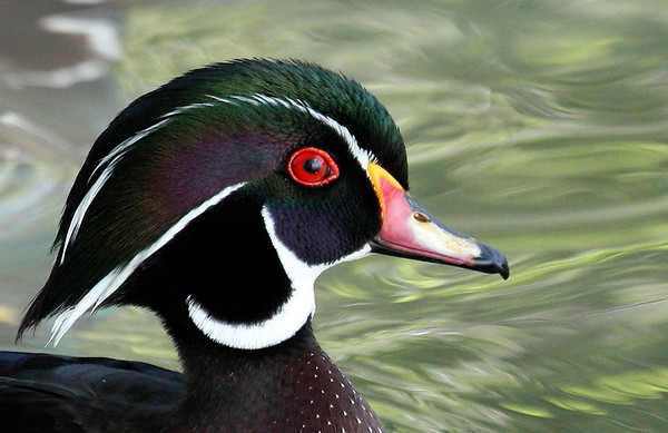 Close-up of a male wood duck (Aix sponsa) (2009_04_10_014407)