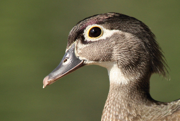 Close-up of a female wood duck (Aix sponsa) (2009_04_10_014518)
