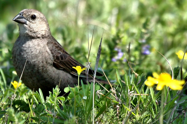 A female brown-headed cowbird (Molothrus ater) standing in grass (2009_04_11_014938)