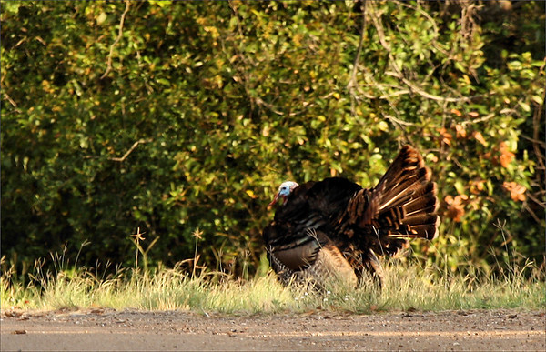A male male wild turkey (Meleagris gallopavo) walking along a roadside while displaying (2009_05_16_018665)