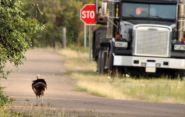 A male wild turkey (Meleagris gallopavo) walking down a country road (2009_05_16_018671)