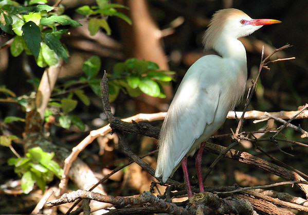 A cattle egret (Bubulcus ibis) standing atop some twigs (2009_05_17_019108)