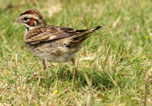 A lark sparrow (Chondestes grammacus) running through the grass (2009_05_22_020747)