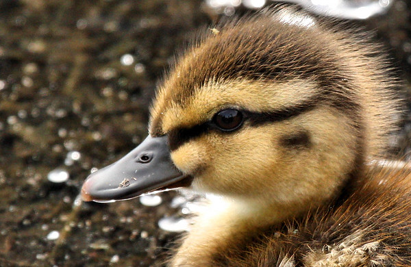 Close-up of a mallard duckling (Anas platyrhynchos) (2009_06_03_021795)
