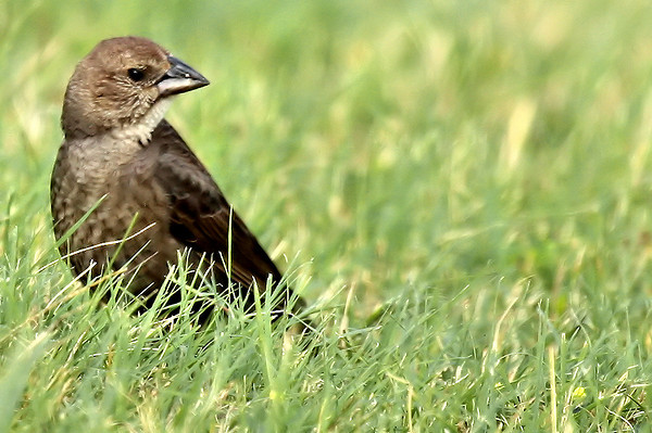 A female brown-headed cowbird (Molothrus ater) standing in grass (2009_06_03_021982)