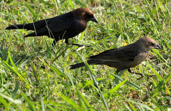 A male and a female brown-headed cowbird (Molothrus ater) walking together through the grass (2009_06_03_021993)