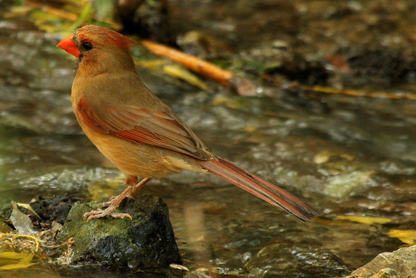 A female northern cardinal (Cardinalis cardinalis) enjoying the solace of a quiet stream (2009_06_06_022618)
