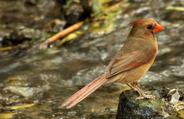 A female northern cardinal (Cardinalis cardinalis) standing on a rock in the middle of a creek (2009_06_06_022623)