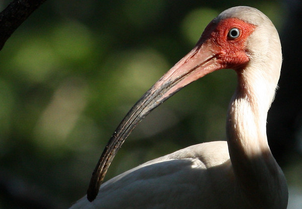 Close-up of a white ibis (Eudocimus albus) (2009_06_13_023014)