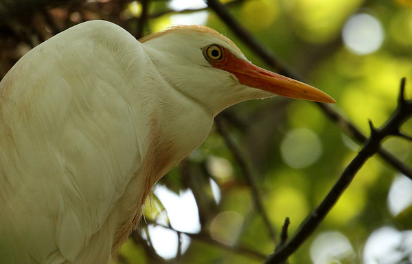 A cattle egret (Bubulcus ibis) resting in a tree (2009_06_13_023406)