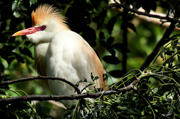 A cattle egret (Bubulcus ibis) displaying in a treetop (2009_06_20_023921)