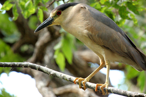 A black-crowned night-heron (Nycticorax nycticorax) perched on a branch (2009_06_20_024000)