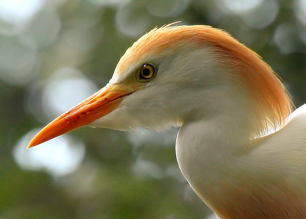 Close-up of a cattle egret (Bubulcus ibis) in breeding plumage (2009_06_20_024031)
