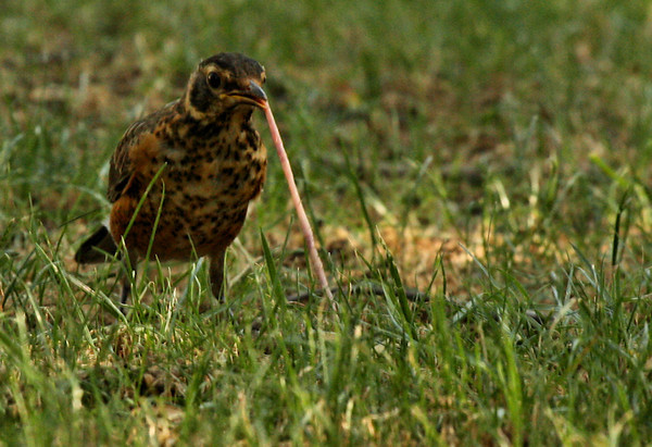A juvenile American robin (Turdus migratorius) doing battle with an earthworm (2009_06_27_024880)