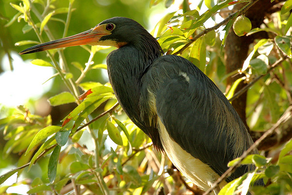 A tricolored heron (a.k.a. Louisiana heron; Egretta tricolor) standing in a tree (2009_07_12_026569)