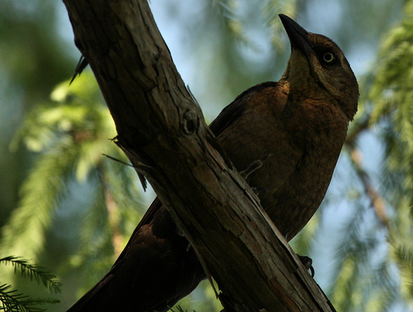 A female great-tailed grackle (Quiscalus mexicanus) standing guard in her tree (2009_07_19_027165)