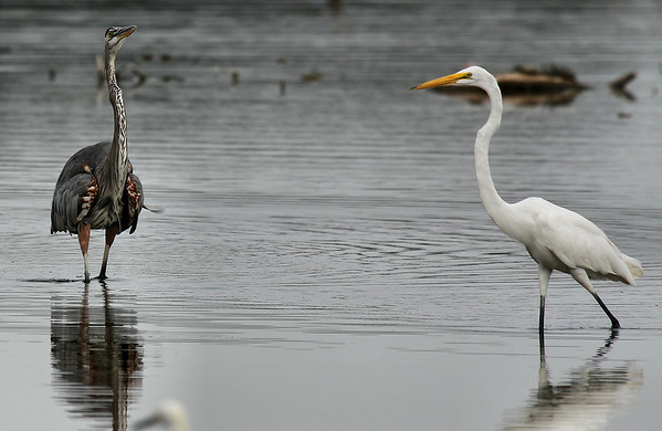 A great egret (Ardea alba) strolling by a defensive great blue heron (Ardea herodias) (2009_07_26_027840)