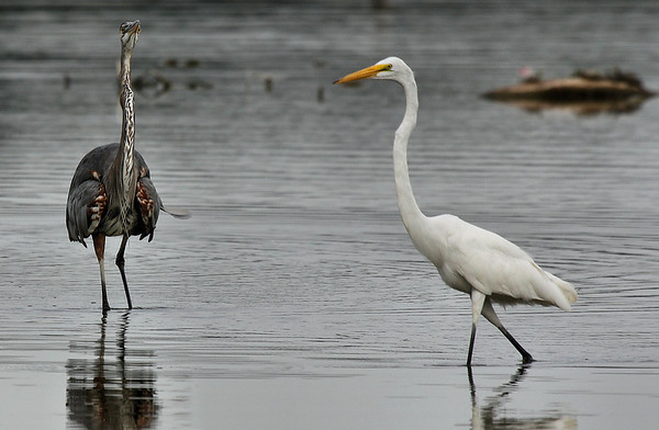 A great egret (Ardea alba) strolling by a defensive great blue heron (Ardea herodias) (2009_07_26_027841)