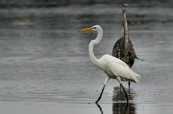 A great egret (Ardea alba) strolling by a defensive great blue heron (Ardea herodias) (2009_07_26_027843)