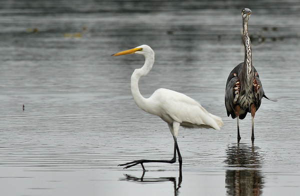 A great egret (Ardea alba) strolling by a defensive great blue heron (Ardea herodias) (2009_07_26_027844)