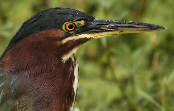 Close-up of a green heron (Butorides virescens) (2009_09_05_028705)