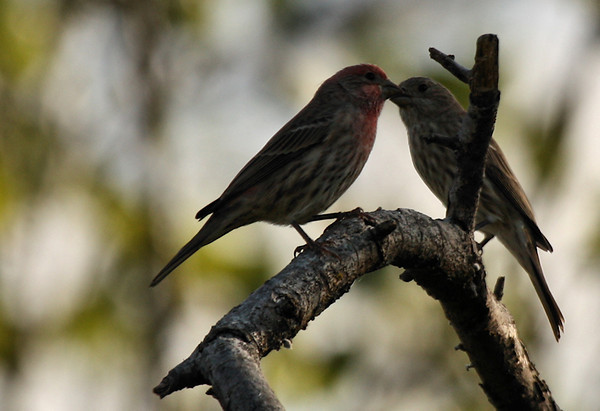 A pair of house finches (Carpodacus mexicanus) stealing a kiss beneath the mistletoe (2009_10_17_031857)
