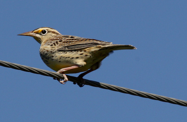 An eastern meadowlark (Sturnella magna) perched on an overhead wire (2009_10_23_032743)