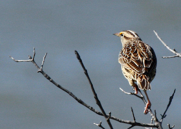 An eastern meadowlark (Sturnella magna) perched in a tree (2009_10_23_032869)