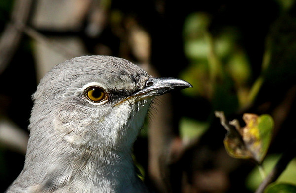 Close-up of a northern mockingbird (Mimus polyglottos) (2009_10_23_033011)