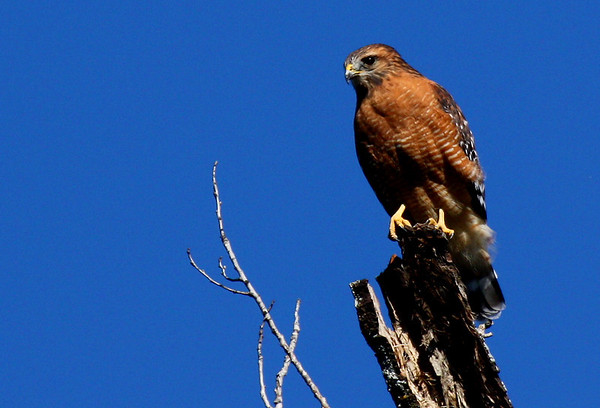 A red-shouldered hawk (Buteo lineatus) perched in a treetop (2009_10_23_033199)