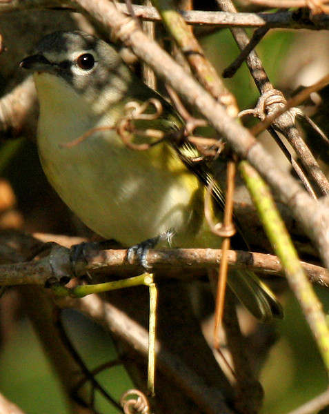 A blue-headed vireo (Vireo solitarius) watching me from within an impenetrable thicket (2009_10_24_033301)