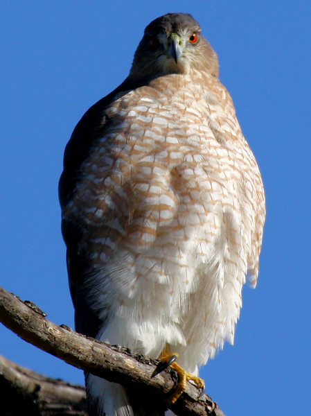 A female Cooper's hawk (Accipiter cooperii) staring at me from her perch (2009_10_24_033420)