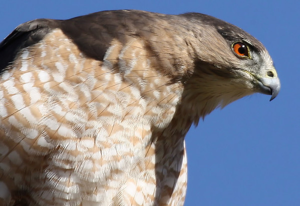 A female Cooper's hawk (Accipiter cooperii) looking intently at possible prey (2009_10_24_033487)