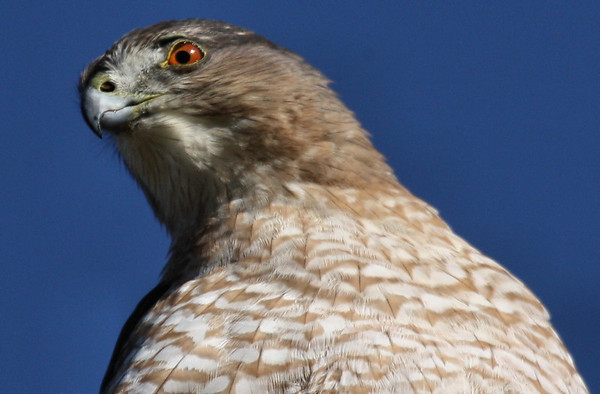 A female Cooper's hawk (Accipiter cooperii) glancing to her side (2009_10_24_033498)