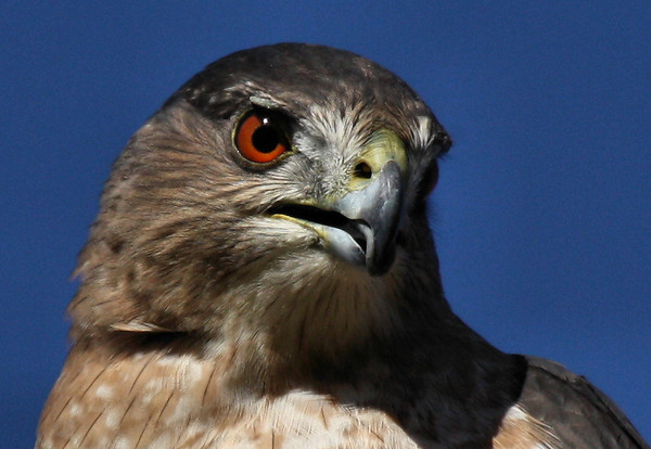 Close-up of a female Cooper's hawk (Accipiter cooperii) (2009_10_24_033505)