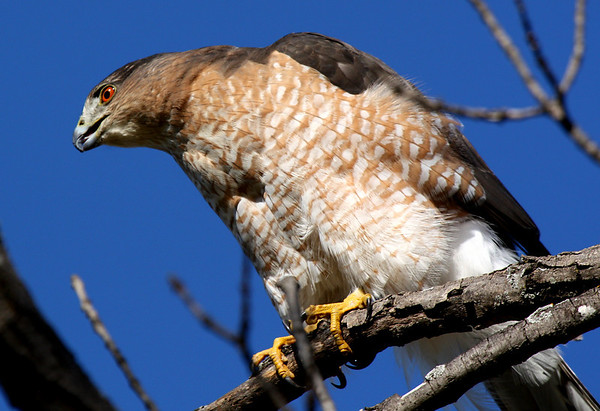 A female Cooper's hawk (Accipiter cooperii) looking intently at possible prey (2009_10_24_033511)
