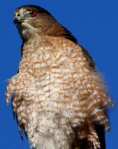 A female Cooper's hawk (Accipiter cooperii) looking into the bright morning (2009_10_24_033541)
