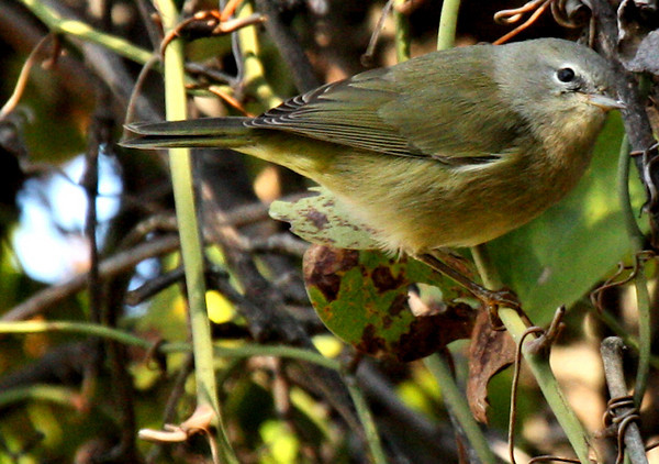 An orange-crowned warbler (Vermivora celata) perched on a vine (2009_10_24_033662)