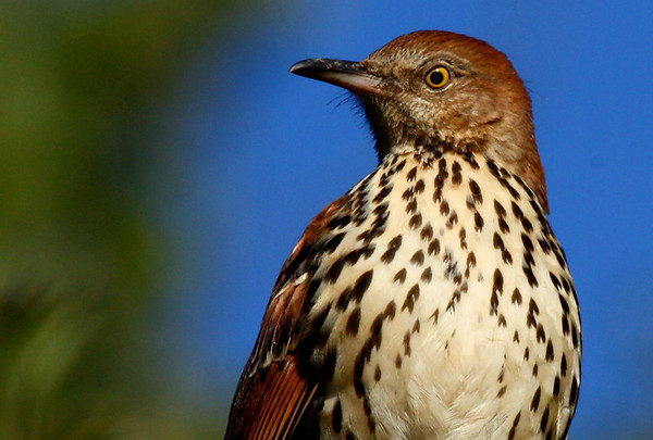 Close-up of a brown thrasher (Toxostoma rufum) (2009_10_24_033714)