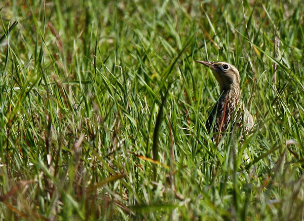 An eastern meadowlark (Sturnella magna) hiding in the grass (2009_10_24_033814)