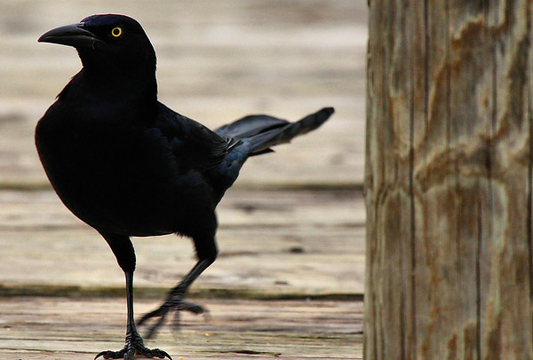 Male great-tailed grackle (Quiscalus mexicanus) walking on a pier (2009_10_25_034053)