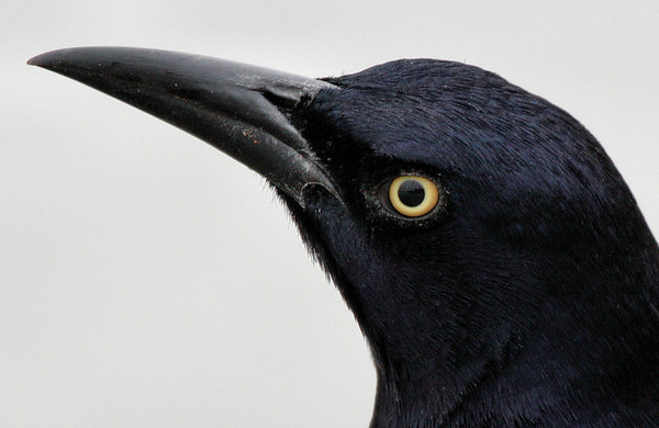 Close-up of a male great-tailed grackle (Quiscalus mexicanus) (2009_10_25_034089)