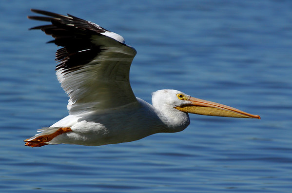 An American white pelican (Pelecanus erythrorhynchos) flying over water (2009_10_31_035673)